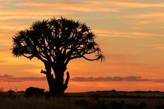 非洲纳米比亚颤抖剪影南部的结构树 库存图片