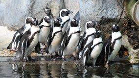 非洲组企鹅 库存图片