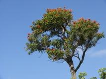 非洲结构树郁金香 库存照片