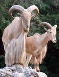 非洲绵羊 免版税库存图片