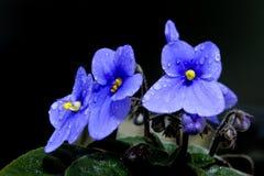 非洲美好的紫罗兰 免版税库存图片