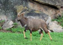 非洲羚羊林羚野生生物 图库摄影