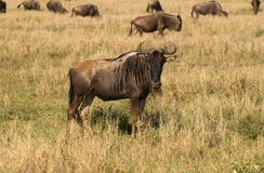 非洲羚羊角马 库存照片