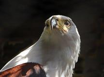 非洲老鹰鱼 图库摄影