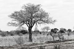 非洲肯尼亚徒步旅行队树荫斑马 免版税库存图片
