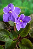 非洲花非洲堇紫罗兰 免版税库存照片