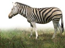 非洲草绿色查出的斑马 库存照片