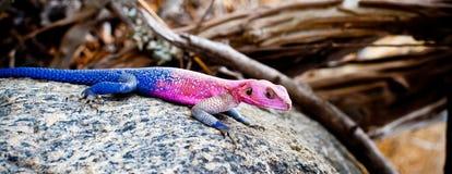 非洲蜥蜴五颜六色的蜥蜴岩石 免版税库存照片