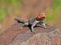 非洲蜥蜴彩虹 免版税库存图片