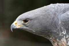 非洲被加冠的老鹰 免版税库存图片