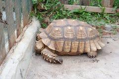 非洲被激励的草龟在泰国 免版税库存照片