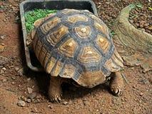 非洲被激励的草龟或吃食物的Sulcata草龟 库存照片