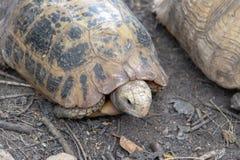非洲被激励的草龟的关闭 图库摄影