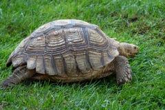 非洲被激励的草龟陡壁峡口蛇头草属sulcata 库存照片