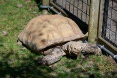 非洲被激励的草龟,非洲大草原 免版税库存照片