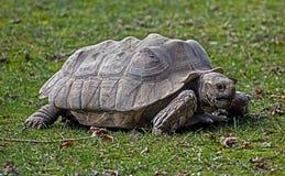 非洲被激励的草龟 图库摄影