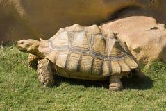 非洲被激励的草龟 免版税库存照片