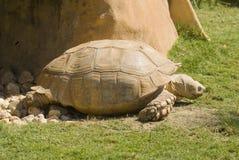 非洲被激励的草龟 免版税图库摄影