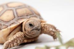 非洲被激励的草龟(Sulcata) 图库摄影