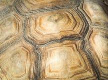 非洲被激励的草龟Centrochelys sulcata 免版税图库摄影