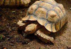 非洲被激励的草龟Centrochelys sulcata 免版税库存照片