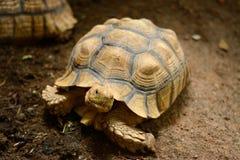 非洲被激励的草龟Centrochelys sulcata 免版税库存图片
