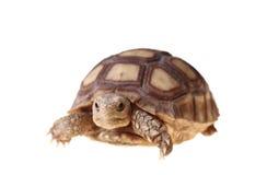 非洲被激励的sulcata草龟 库存照片