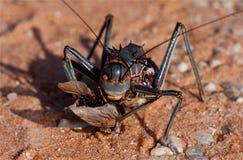 非洲装甲的蟋蟀陆运 库存图片