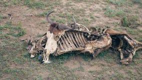 非洲角马的骨骼的特写镜头与一块头骨的在地面上 影视素材