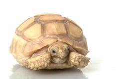 非洲象牙激励了草龟 图库摄影