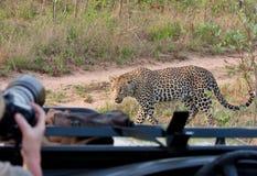 非洲豹子徒步旅行队 免版税库存图片