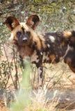 非洲豺狗 库存照片