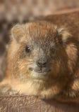 非洲蹄兔岩石 免版税库存图片