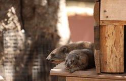 非洲蹄兔岩石 免版税库存照片
