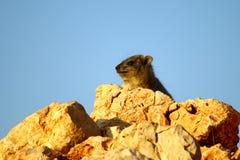 非洲蹄兔高峰岩石告密者 免版税库存图片