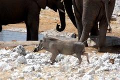 非洲野猪属 免版税库存图片