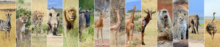 非洲野生生物动物拼贴画  免版税库存照片