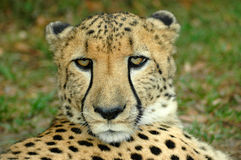 非洲野生生物 库存照片