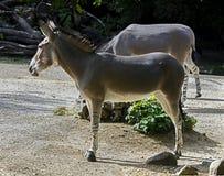 非洲野驴女性 免版税库存图片