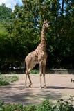 非洲长颈鹿在德累斯顿德国动物园里  免版税库存照片