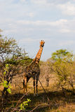 非洲长颈鹿怀孕的南部 库存图片