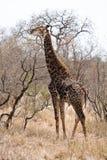 非洲长颈鹿横向走 库存照片