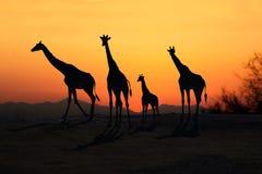 非洲长颈鹿现出轮廓在开放平原的日落 库存照片