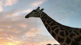 非洲长颈鹿的特写镜头在徒步旅行队的在保护区域 股票视频