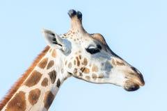 非洲长颈鹿纵向 顶头和长的脖子 免版税库存照片