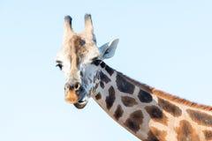非洲长颈鹿纵向 顶头和长的脖子 免版税图库摄影
