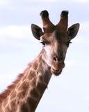 非洲长颈鹿纵向 免版税图库摄影