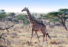 非洲长颈鹿网状的肯尼亚 免版税库存照片