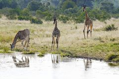 非洲长颈鹿饮用水 库存图片