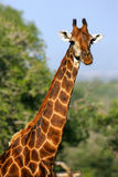 非洲长颈鹿 免版税库存照片